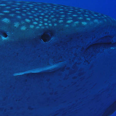 Whale Sharks are back in 'town'!!